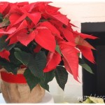 poinsettias6