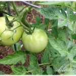 Growing Healthy Tomato Plants